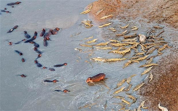 Hippos v Crocs on the Zambezi, Source: Marc Mol/Mercury Press